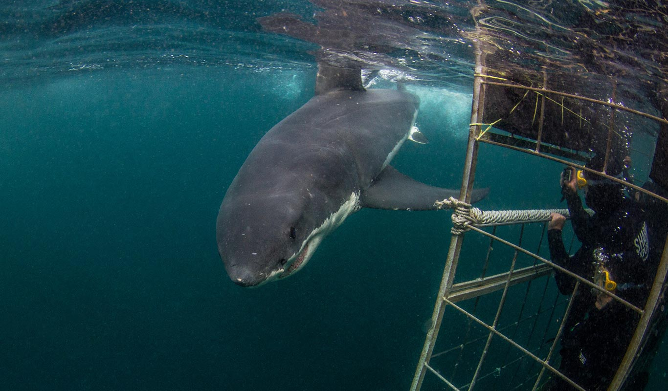 Great White Shark Cage Diving - Shark Explorers