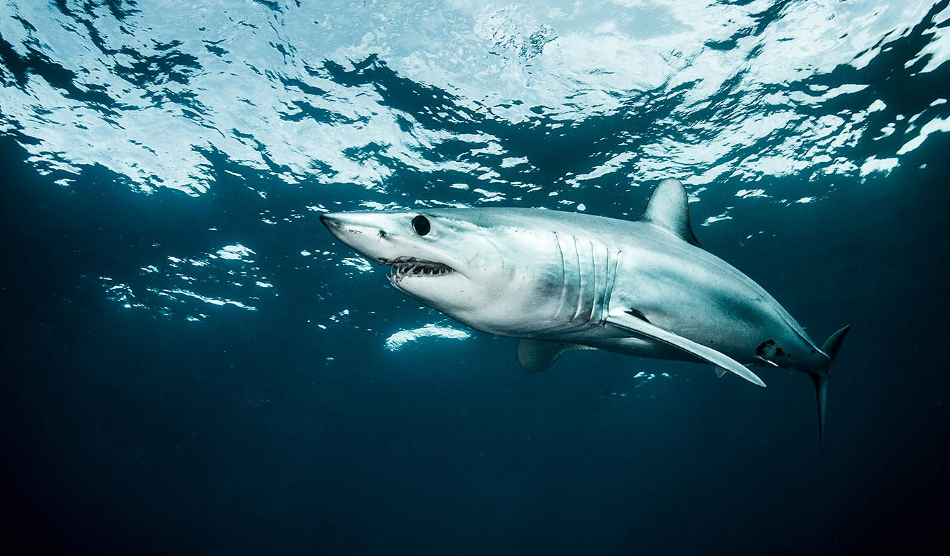 Offshore Dive Trips - Shark Explorers