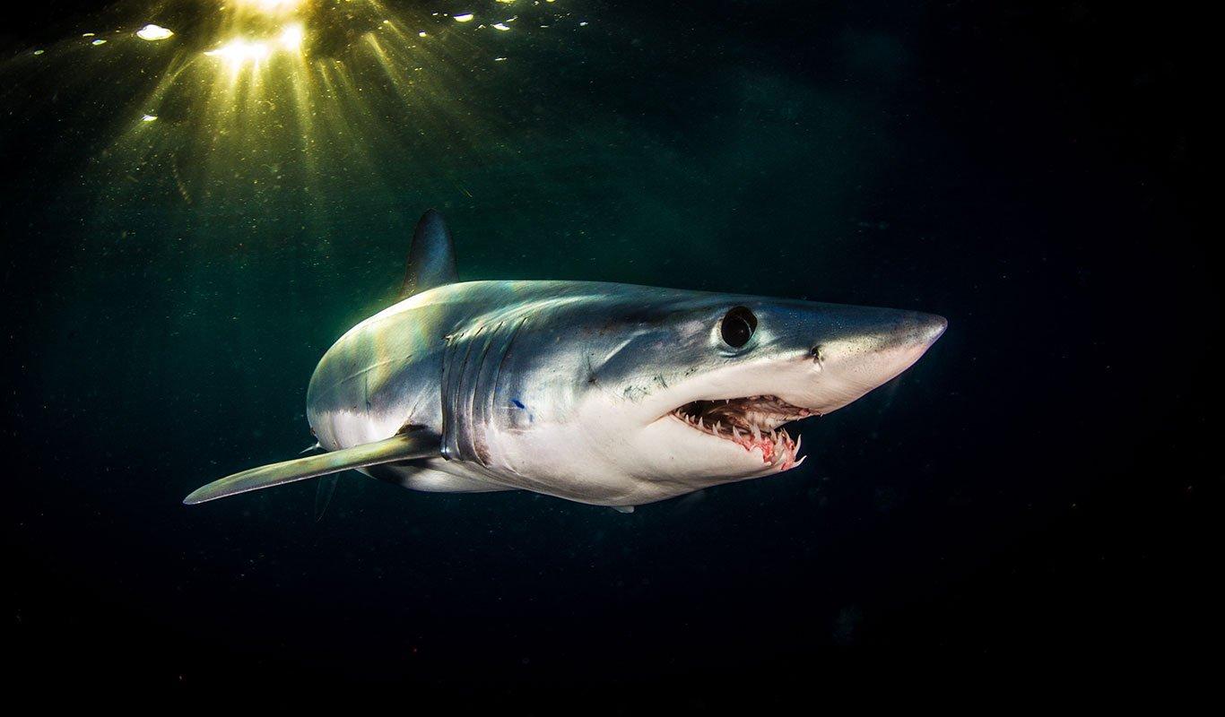 Mako Sharks - Shark Explorers