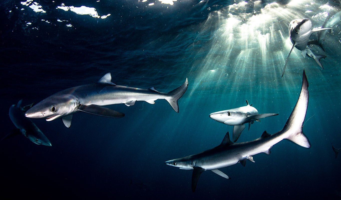 Blue Sharks - Shark Explorers
