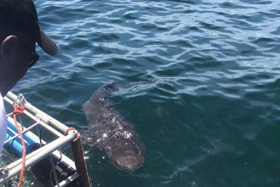 Sevengill Shark Cage Diving