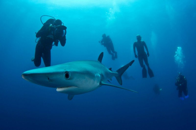 Blue and Mako Shark Diving