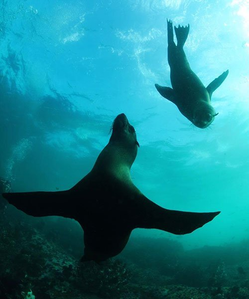 Seal diving during Baboon spotting during Shark Explorers Internship